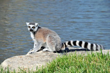 Ring-tailed Lemur sitting on a rock by the water photo