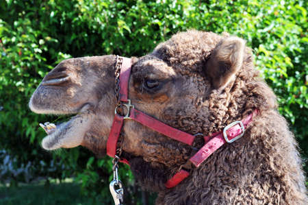 a young camel in his harnes sits and waits
