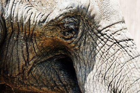 caked: The mud caked face of a large elephant