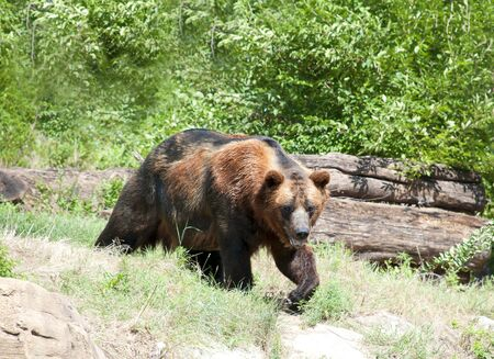 Large brown bear outside in a park or zoo Banco de Imagens