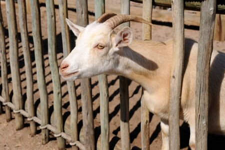 farm goat putting his head through a wood fence Banco de Imagens
