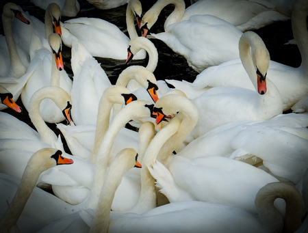 group of swan meet in the middle of the flock. Stock Photo