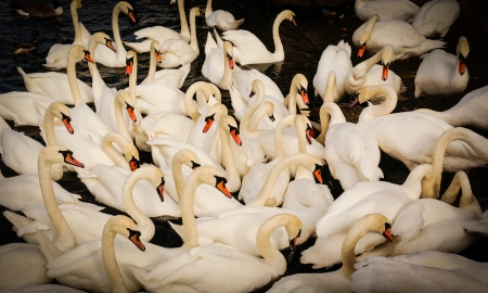adult swans gattering  concept of acceptance, social life, protection picture taken with vignetting style Stock Photo