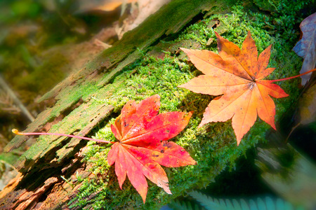 encounter: Pair of fall leaves: encounter in a forest