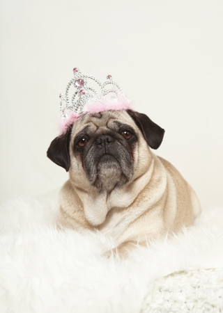small dog lying on a white fur with a crown on his head, white background, looking at the camera photo