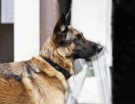 Pure breed german shepherd dog is listening to the person, waiting photo