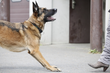 Pure breed german shepherd dog is waiting for a order photo