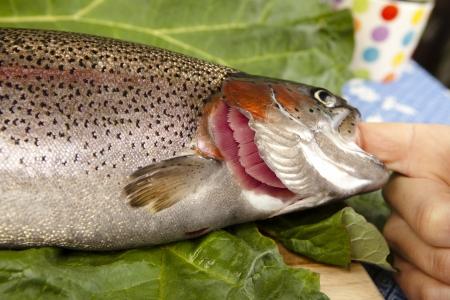 wiedererkennen: erkennen, frische Forellen zu den Kiemen, close up, schneiden Sie ein Roh-Regenbogenforelle, unscharfen Hintergrund