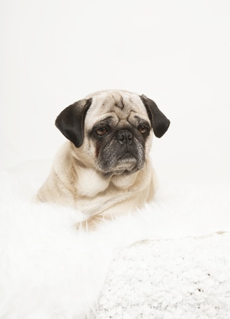 pug portrait on a white blanket, dog looking to the side, white background photo