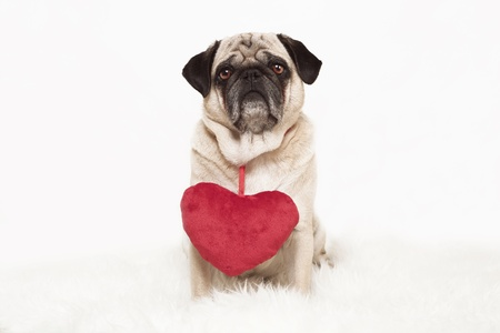 cream colored pug bound in the studio with a red fabric heart around neck, white background, portrait photo