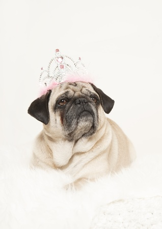 male pug with a crown on his head looks sublime to the side, white background, studio portrait photo