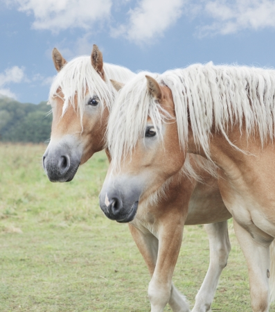 two haflinger horses against a blue sky, on a willow, close up of head photo