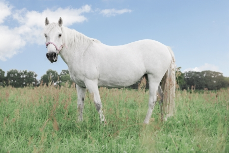 thriving: beautiful white horse on a pasture, thriving green grass, blue sky, foliage trees in the background Stock Photo