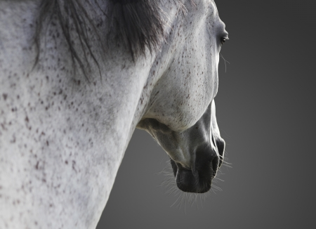 white horse portrait, close up, close up against gray background photo