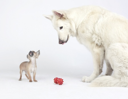 White German Shepherd and short hair Chihuahua playing peacefully together with a red toy  photo
