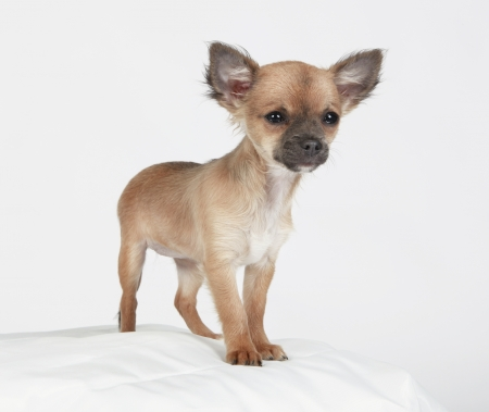 timid: Short-haired Chihuahua standing tall on a pillow with a timid expression
