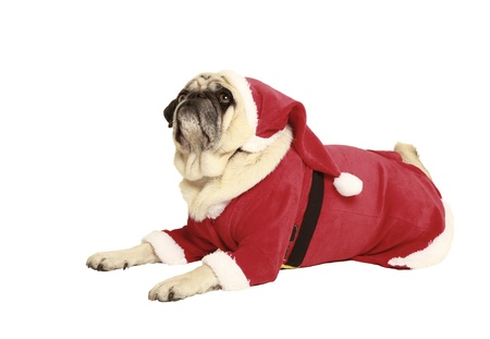 disguised: pug in santa costume lying, exempted, white background, dressed as santa claus
