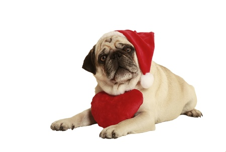 exempted: pug in santa costume lying, exempted, white background, dressed as santa claus, wearing a plush heart around his neck
