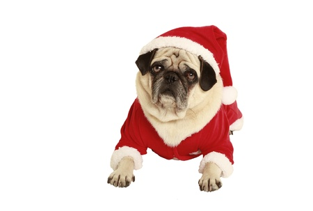 exempted: pug in santa claus costume lying, exempted, white background, dressed as santa claus Stock Photo