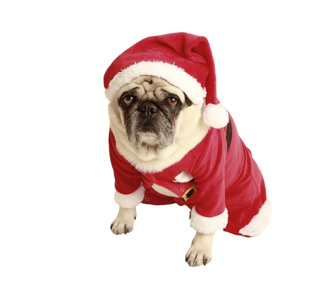 exempted: pug in santa costume, exempted, white background, dressed as santa claus, dog looking at the camera