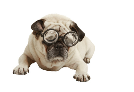 Pug with glasses, exempted, white background, recumbent, cutout photo