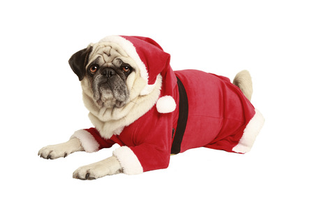 pug in santa costume lies and looks, exempted, white background, dressed as santa claus, cutout photo