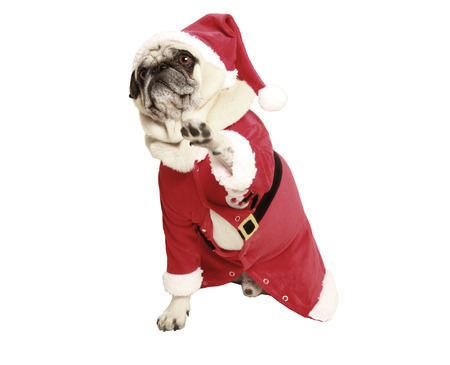 optional: pug in santa coat raises his paw, and looking with big eyes, optional, cutout, white background