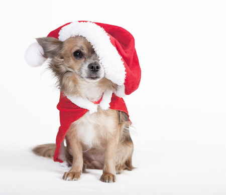 small brown chihuahua with big santa hat, optional, background white photo