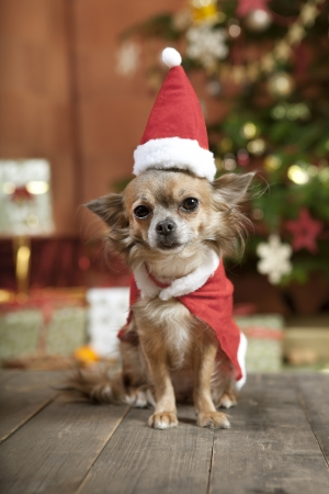 a little chihuahua dog sitting in front of the Christmas tree. He is dressed as Santa Claus