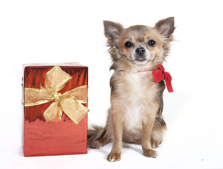 chihuahua dog with christmas gift, background white photo