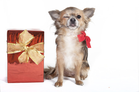 small chihuahua dog winks the eyes, next to a red gift with decoration bow, background white photo