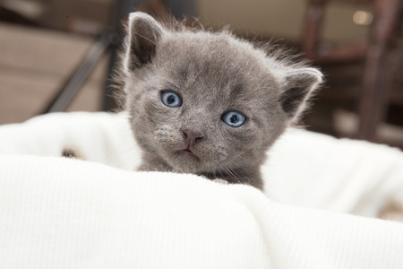 babie: gray cat cub looking at the camera, from a  box with white ceiling Stock Photo