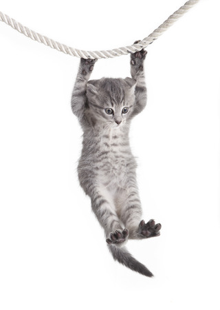 small tabby cat baby hanging on rope, white background, isolated photo