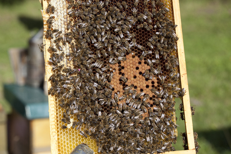 brood: bees with brood comb and queen bee Stock Photo