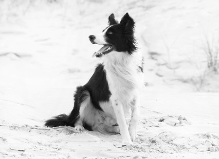 black and white border colli dog sitting on the sand beach and looking