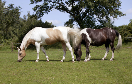 piebald: two horses eating grass in a pasture