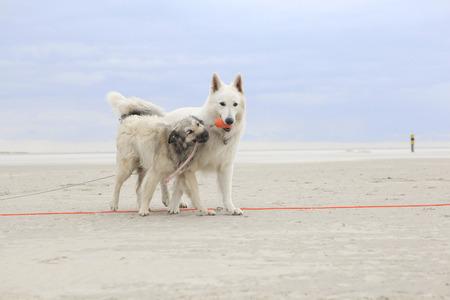 dogs playing: Dos perros jugando en la playa con una pelota