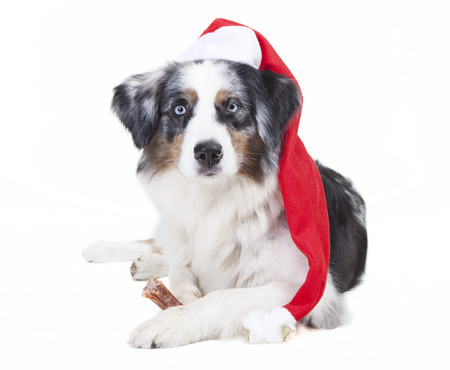 austrailian shepherd with stocking cap in front of white background photo