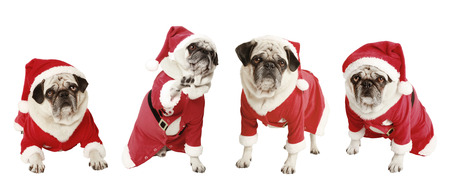 four pugs as a Christmas gift, exempted, white background, dressed as santa claus, cutout photo