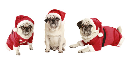 dogs as a Christmas gift, exempted, white background, dressed as santa claus, cutout photo