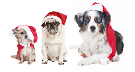 three dogs as a Christmas gift, exempted, white background, dressed as santa claus, cutout photo