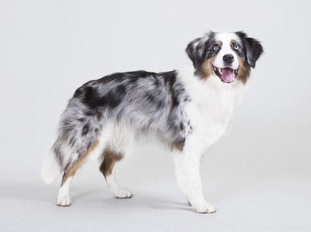 austrailian shepherd with the color blue merle in front of white background photo