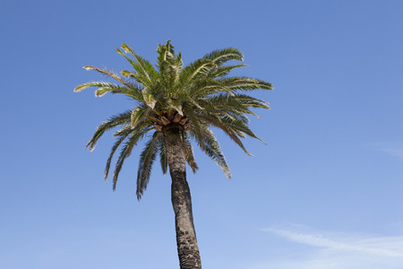 the leaf crown of a large palm tree against blue sky photo