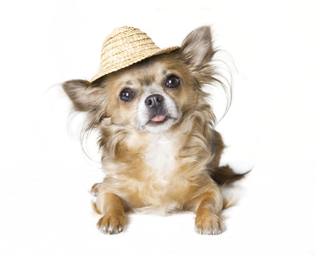 small brown chihuahua dog with sunhat made of straw, white background photo