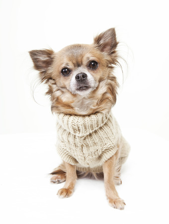 chihuahua with wool sweater looking at the camera. white background Stock Photo