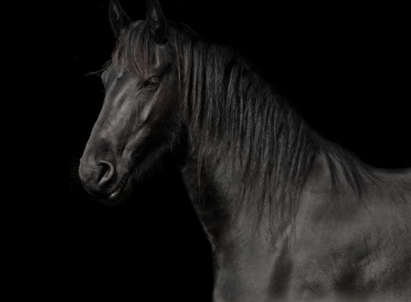 black horse of the race friesian in studio against a dark background Stock Photo