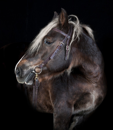 Schleswig horse portrait looking to the side black background