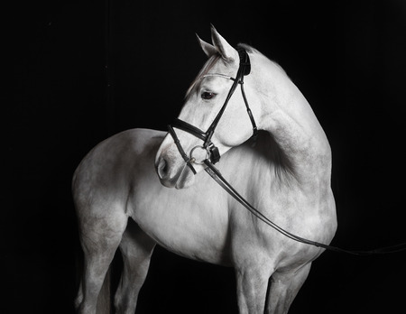 side head: White Holsteiner horse with bridle in studio against black background