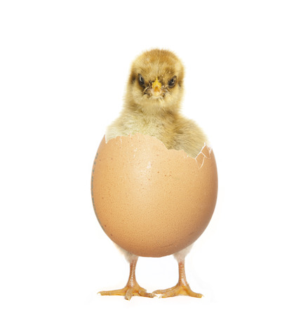 little chick hatching from an egg, white background photo