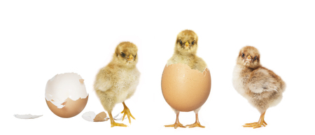 little chick hatching from an egg, others look to photo